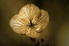 Hydrangea hortensia Royalty-vrije Stock Foto's