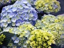 Hydrangea hortensia Stock Foto's