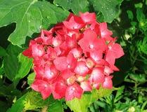 Hydrangea hortensia stock foto
