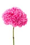 Hydrangea hortensia Stock Afbeeldingen