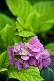 Hydrangea hortensia Royalty-vrije Stock Fotografie