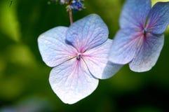 Hydrangea hortensia Royalty-vrije Stock Afbeeldingen