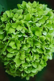 Hydrangea hortensia Royalty-vrije Stock Foto