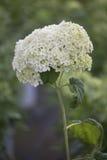 Hydrangea hortensia - Annabelle Stock Foto's