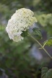 Hydrangea hortensia - Annabelle Stock Afbeelding