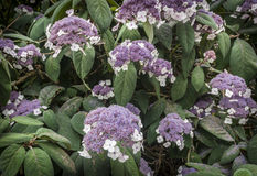 Hydrangea hortensia Aspera Stock Fotografie