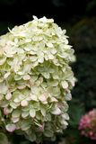Hydrangea hortensia bij de de recente zomerbloei royalty-vrije stock fotografie