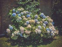 Hydrangea hortensia in bloei dichtbij het huis stock fotografie