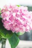 Hydrangea hortensia in bloeiclose-up Royalty-vrije Stock Afbeeldingen