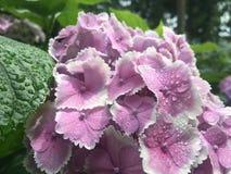 Hydrangea hortensia - bloem royalty-vrije stock afbeelding