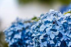 Hydrangea or hortensia blue flower Stock Photo