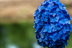 Hydrangea or hortensia blue flower Royalty Free Stock Photo