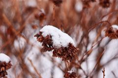 Hydrangea or Hortensia bush with flowers on plant covered by snow in the garden in winter stock images
