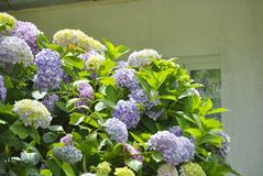 Hydrangea or Hortensia. Bush of Hydrangea or Hortensia in a garden Stock Image