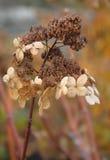 Hydrangea hortensia in de herfst Stock Foto