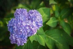 Hydrangea hortensia in de tuin Royalty-vrije Stock Afbeelding