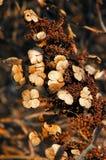 Hydrangea hortensia in de Winter Royalty-vrije Stock Afbeelding