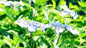 Hydrangea hortensia die in het park slingeren stock video