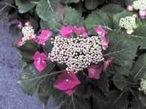 Hydrangea hortensia in een tuin royalty-vrije stock afbeelding