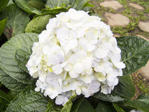 Hydrangea or Hortensia flower Stock Photos