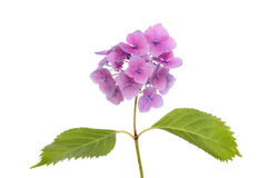 Hydrangea Royalty Free Stock Photos