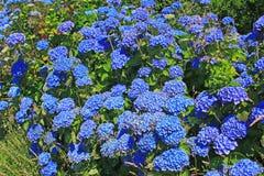 Hydrangea Hortensia Stock Photography