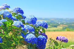 Hydrangea Hortensia Stock Photos