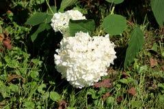 Hydrangea or Hortensia garden shrub with bunch of bright white flowers near ground surrounded with leaves and uncut grass. Hydrangea or Hortensia garden shrub stock photography