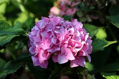 Hydrangea or Hortensia garden shrub with multiple dark pink flowers surrounded with thick green leaves in shade of large tree. Hydrangea or Hortensia garden royalty free stock images