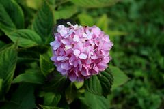Hydrangea or Hortensia garden shrub with multiple pink flowers and pointy petals. Hydrangea or Hortensia garden shrub with multiple small dark pink flowers with royalty free stock photos