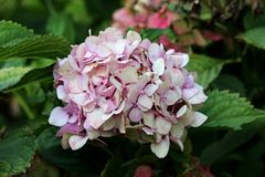 Hydrangea or Hortensia garden shrub with multiple small dark pink flowers with spots and pointy petals surrounded with thick green. Leaves and other garden royalty free stock photo
