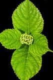 Hydrangea hortensia - geïsoleerd detail, stock foto's