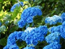 Blue Hydrangea Flower in Japan royalty free stock image