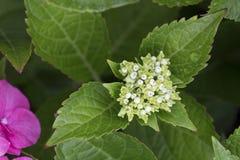 Hydrangea hortensia - Gloeiende Sintel Stock Afbeeldingen