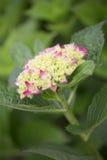 Hydrangea hortensia - Gloeiende Sintel Royalty-vrije Stock Foto's