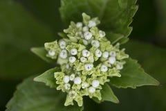 Hydrangea hortensia - Gloeiende Sintel Stock Afbeelding