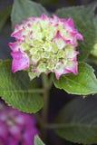 Hydrangea hortensia - Gloeiende Sintel Royalty-vrije Stock Foto