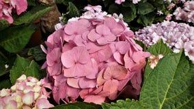 Hydrangea or hortensia Stock Image