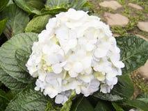 Hydrangea hortensia of Hortensia-bloem Stock Foto's