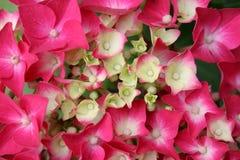 Hydrangea hortensia, hydrangea hortensia Royalty-vrije Stock Foto's