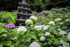 Hydrangea hortensia in Japanse Tempel in Kamakura Japan royalty-vrije stock afbeeldingen