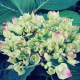 Hydrangea hortensia in Juni stock foto's