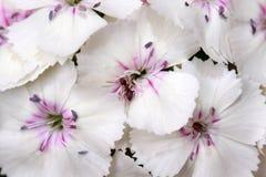 Hydrangea hortensia met een weinig rode mier Royalty-vrije Stock Fotografie