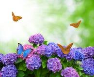 Hydrangea hortensia met vlinders Royalty-vrije Stock Afbeelding