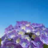 Hydrangea hortensia op blauwe hemel Stock Fotografie