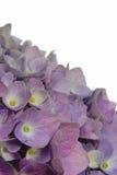 Hydrangea hortensia op wit Stock Fotografie