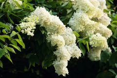 Hydrangea paniculata Limelight. Hydrangea or Hortensia paniculata Limelight with abundant inflorescences in a romantic garden royalty free stock images