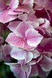 Hydrangea hortensia - Rafel Stock Afbeeldingen