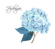Hydrangea hortensia realistische illustratie Stock Foto