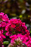 Hydrangea or hortensia red flower Stock Images